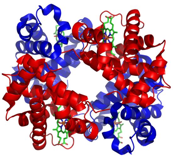 Structure of hemoglobin